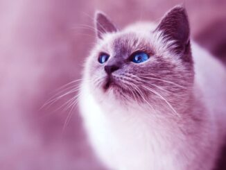 rare cat breeds